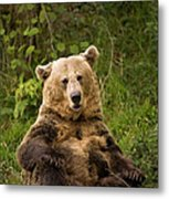 Brown Bear Ursus Arctos, Asturias, Spain Metal Print