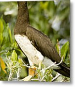 Brown Booby Sula Leucogaster Metal Print by Tim Laman