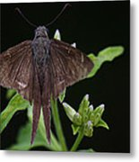 Brown Butterfly Dorantes Longtail Metal Print