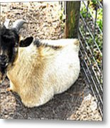 Brown Goat  Metal Print