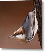 Brown-headed Nuthatch - Little Nutty Metal Print