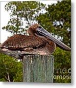 Brown Pelican At Rest Metal Print