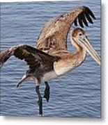 Brown Pelican In Flight Metal Print