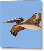Brown Pelican In High Flight Metal Print