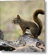 Brown Squirrel In Spokane Metal Print