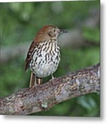 Brown Thrasher Metal Print by Gregory Scott