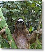 Brown Throated Three Toed Sloth Male Metal Print