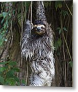 Brown Throated Three Toed Sloth Mother Metal Print