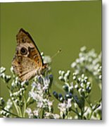 Buckeye Butterfly And Lesser Snakeroot Wildflowers Metal Print