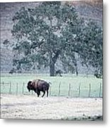 Buffalo And An Oak Tree Metal Print
