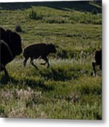 Buffalo Bison Roaming In Custer State Park Sd.-1 Metal Print