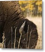 Buffalo Grazing Metal Print by Philippe Widling