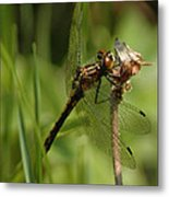 Bug Eyed Dragon Fly Metal Print
