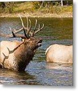 Bugling Bull Elk And 2 Female Cows In Estes Lake  Co Metal Print