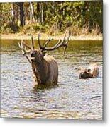 Bugling Bull Elk And Calf Colorado Rut 4 Metal Print
