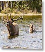 Bugling Bull Elk And Calf Colorado Rut 5 Metal Print
