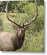 Bull Elk Eyes Metal Print by James BO  Insogna