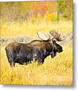 Bull Moose In Autumn Metal Print