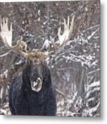 Bull Moose In Winter Metal Print