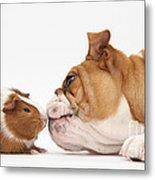 Bulldog & Guinea Pig Metal Print