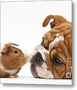 Bulldog Pup Face-to-face With Guinea Pig Metal Print