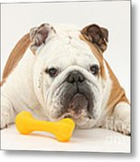 Bulldog With Plastic Chew Toy Metal Print