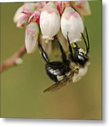 Bumble Bee And Blueberry Blossoms Metal Print