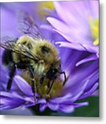 Bumble Bee And Fall Aster Metal Print