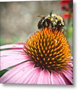 Bumble Bee Feeding On A Coneflower Metal Print