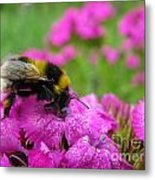 Bumble Bee Searching The Pink Flower Metal Print