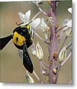 Bumblebee On Sea Squill Flowers Metal Print by Photostock-israel