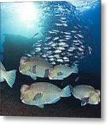 Bumphead Parrotfish Metal Print