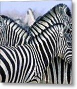 Burchells Zebra Equus Quagga Metal Print