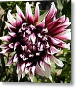 Burgundy And White Dahlia Metal Print