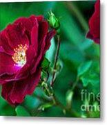 Burgundy Iceberg Rose Metal Print