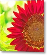 Burgundy Sunflower Metal Print