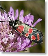 Burnet Moth Metal Print