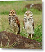 Burrowing Owl Metal Print by Antonello