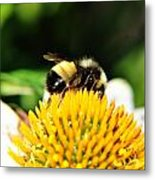 Busy Bee Collecting On Echinacea Pow Wow Metal Print