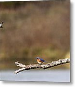 Busy Bluebirds - Three Overlooking The Lake Metal Print