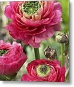 Buttercup Ranunculus Sp Mirabelle Vert Metal Print