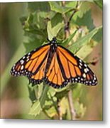 Butterfly - Monarch - Resting Metal Print