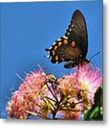 Butterfly On Mimosa Blossom Metal Print