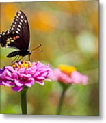 Butterfly On Pink Zinnia Metal Print