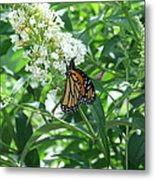 Butterfly On The Butterfly Bush Metal Print