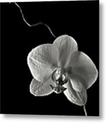 Butterfly Orchid In Black And White Metal Print