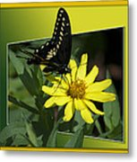 Butterfly Swallowtail 01 16 By 20 Metal Print