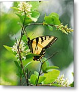 Butterfly Tiger Swallow Metal Print