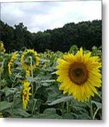 Buttonwoods Sunflowers Metal Print by Jason Sawicki
