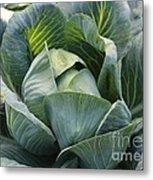 Cabbage In The Vegetable Garden Metal Print